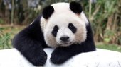 How did China save the giant panda?