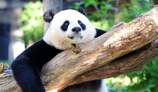 Giant pandas rebound off endangered list