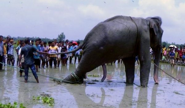 Rescued flood-odyssey elephant dies